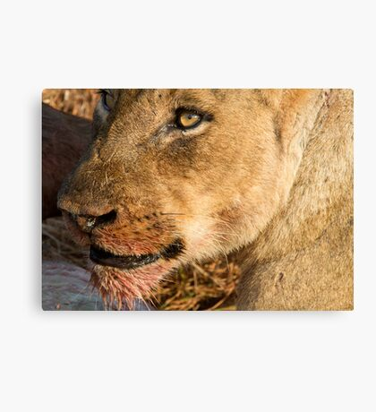 Sparta Lioness Relaxing After Meal Canvas Print