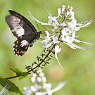 Swallowtail butterfly by Jenny Dean
