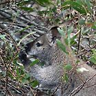 Bennetts Wallaby Female by inthewild