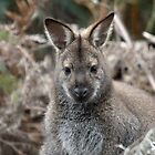 Bennetts Wallaby by inthewild