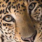 """Contemplative Cat"" - closeup of a Leopard by ArtThatSmiles"