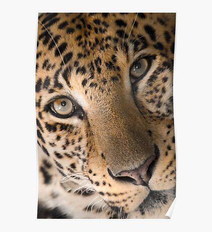 """""""Contemplative Cat"""" - closeup of a Leopard Poster"""