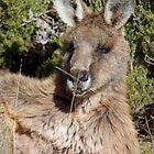 Eastern Grey Kangaroo Male by inthewild
