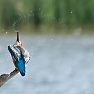 Kingfisher by gml1234