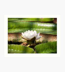 Amazonian Water Lily Art Print