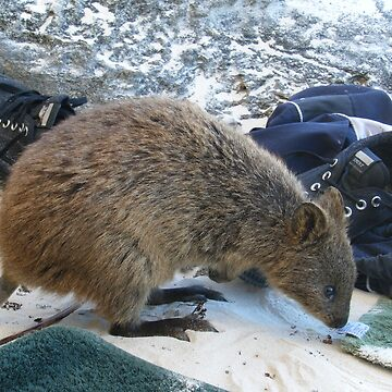 Quokka on the Beach by belle2