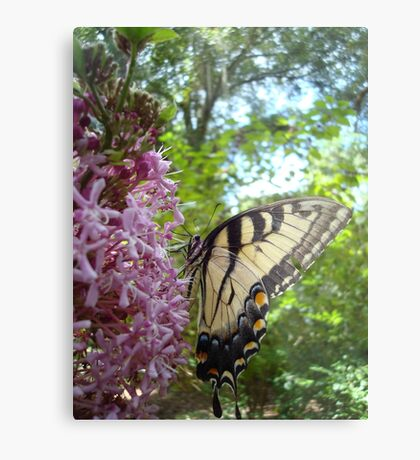 Tiger Swallowtail on Clerodendrom Metal Print