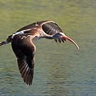 Immature white ibis in flight by Anthony Goldman