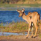 Riverside Kudu by Scott Carr