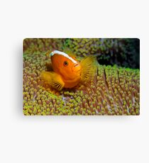 Ralley Clownfish Canvas Print