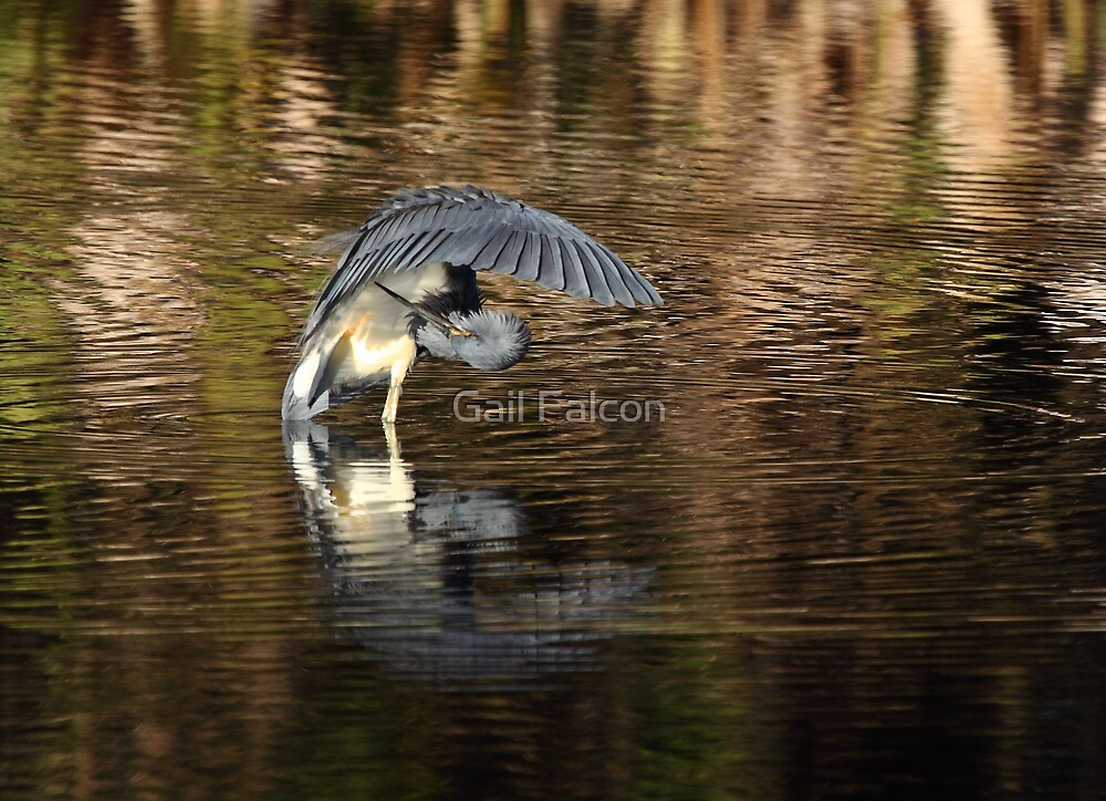 Tri Colored Heron by Gail Falcon