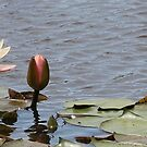Tall pale Pink waterlily by VivianBound