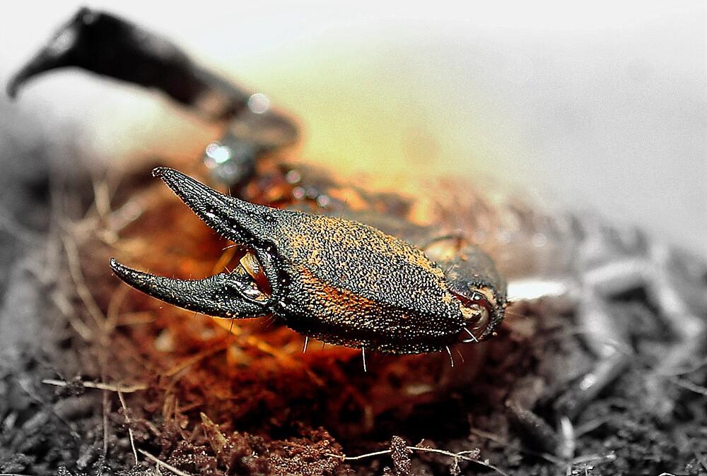 Liocheles sp. by Grunto