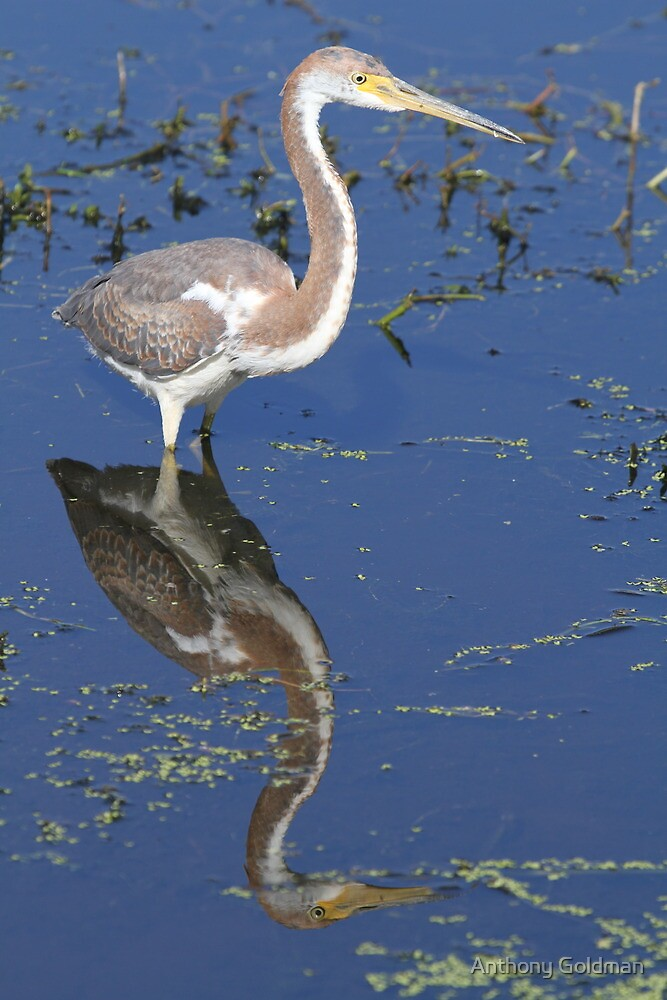 Immature tricolored heron with reflection by Anthony Goldman