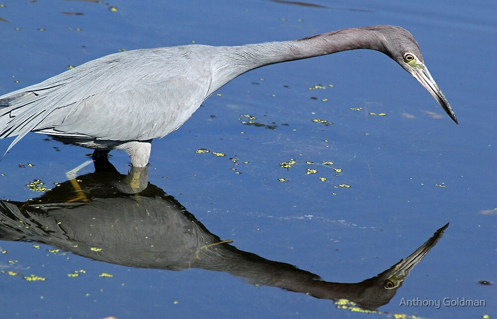 Little blue heron with reflection by Anthony Goldman