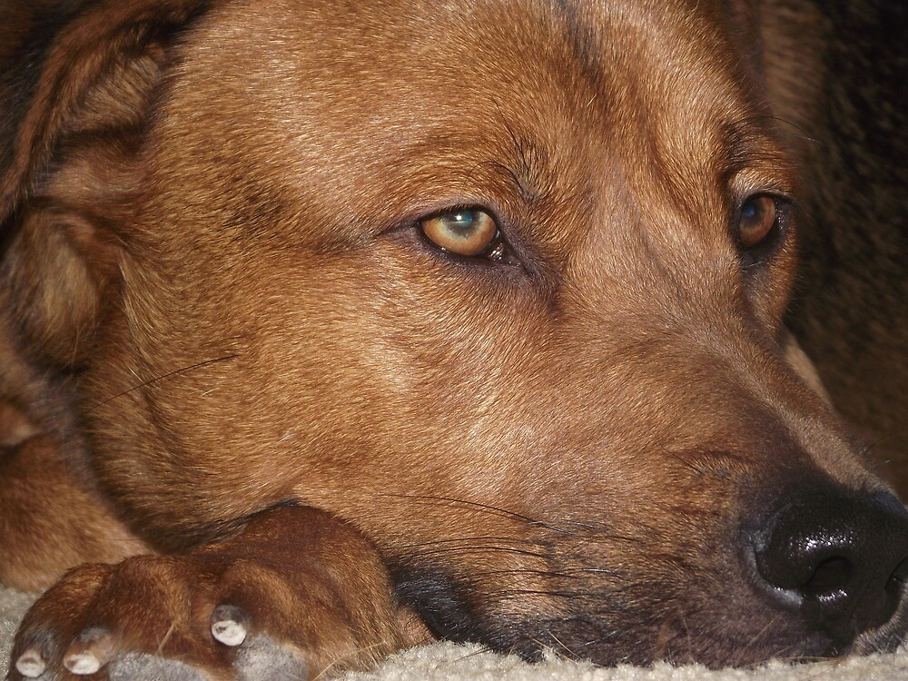 Nodding Off-Ranger My Shepherd/ Mix by Jennifer  Vaughn