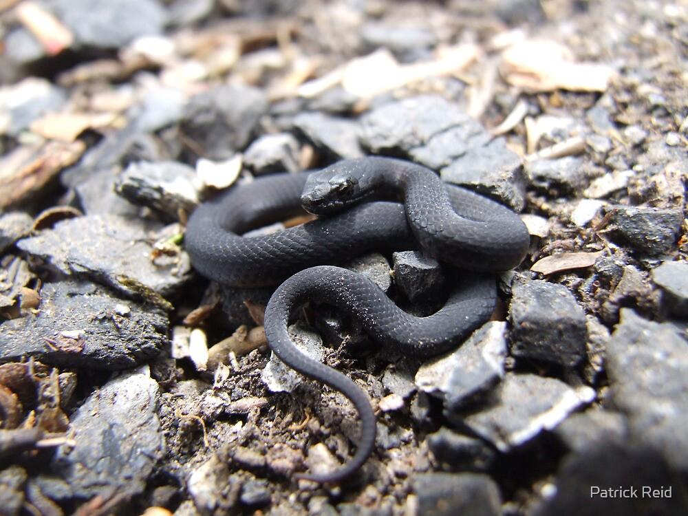 Baby Copper Head Snake by Patrick Reid