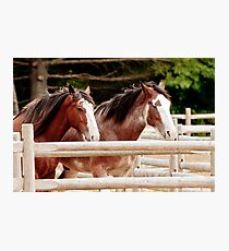 Pair of Draft Horses Photographic Print