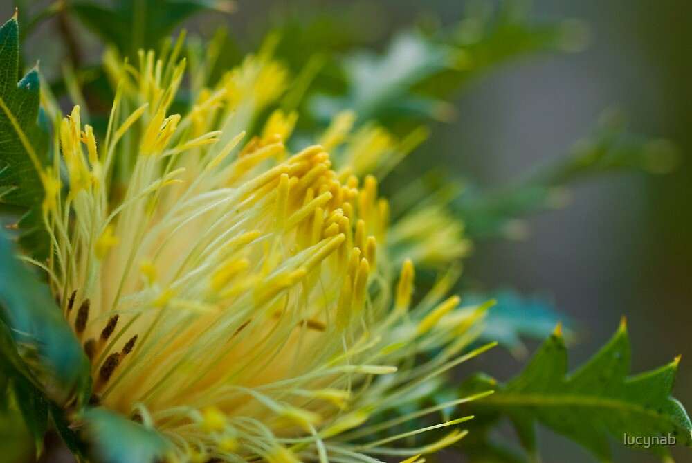 West Australian Parrot Bush by lucynab