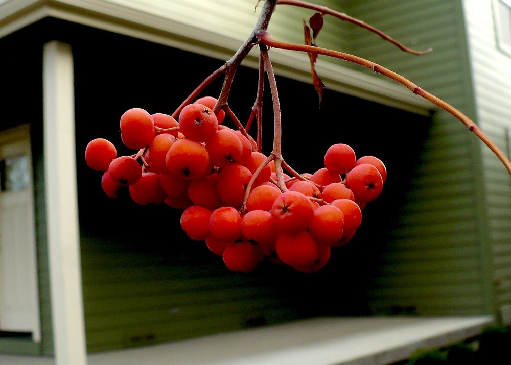 Red Berries  and Green House by ShantiMikel