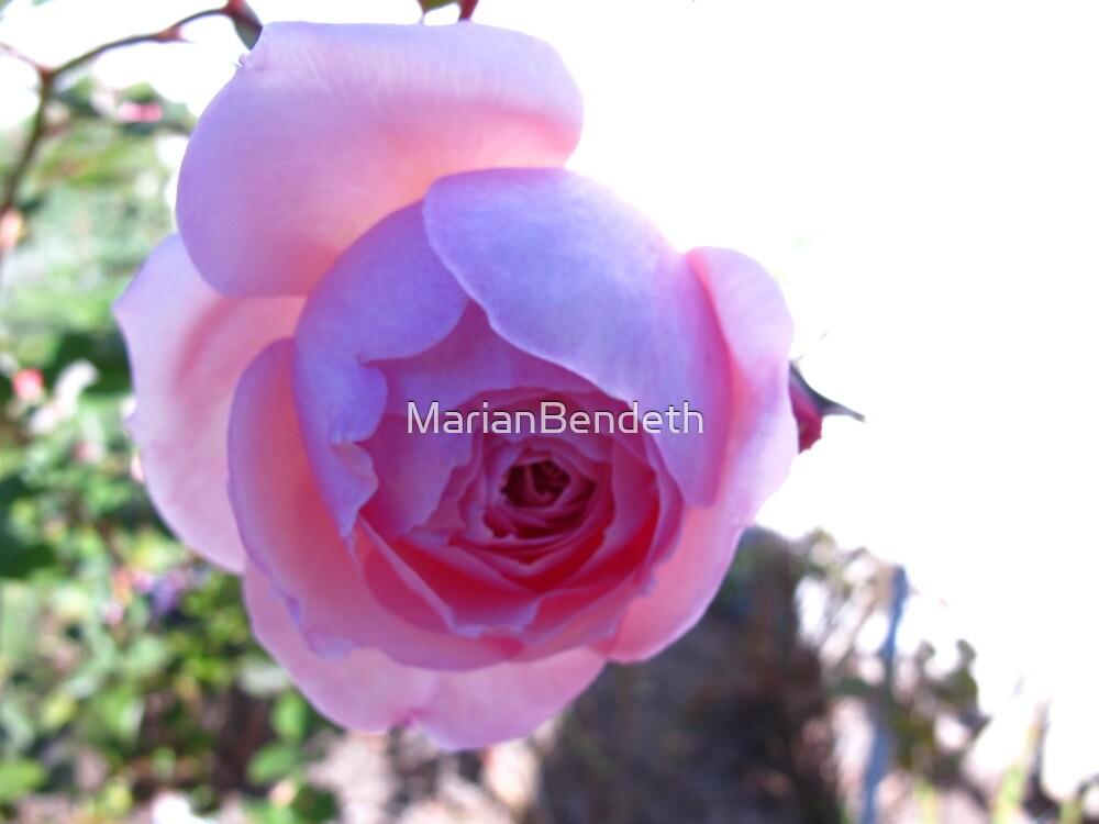 Flourescent Purple Rose by MarianBendeth