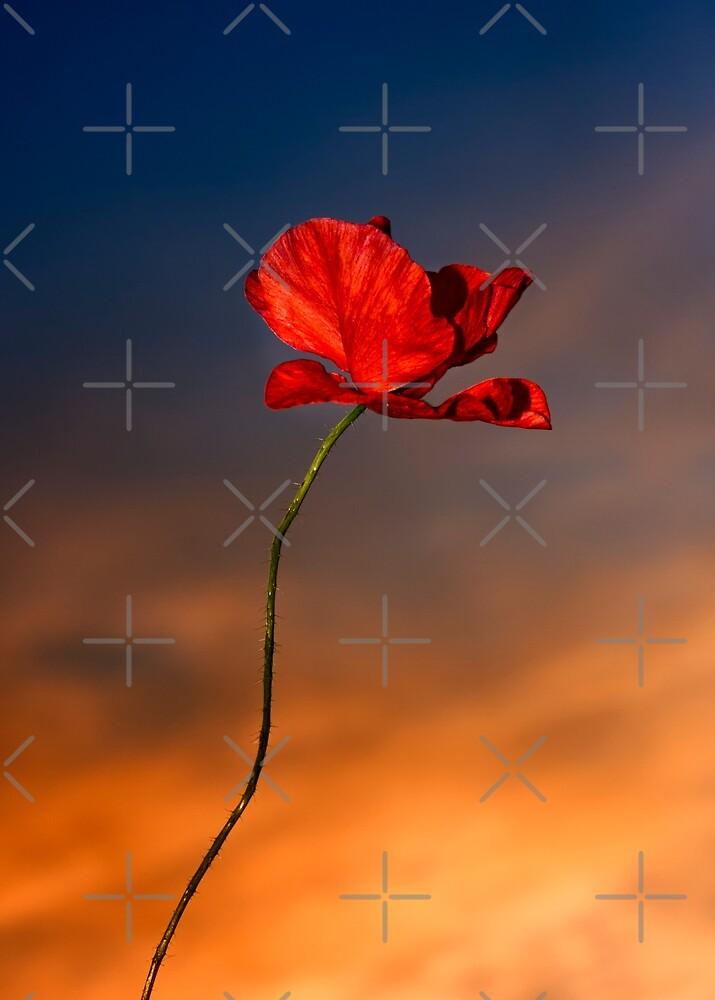 Poppy flower head by heidiannemorris