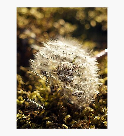 A Fallen Dandelion  Photographic Print