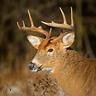 Profile of a Buck  by Daniel  Parent