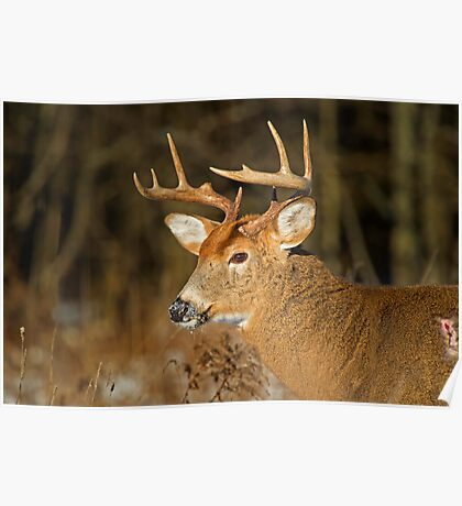 Profile of a Buck  Poster