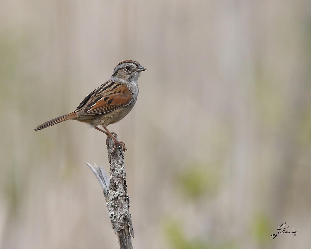 Adult Swamp Sparrow by DigitallyStill