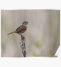 Adult Swamp Sparrow Poster