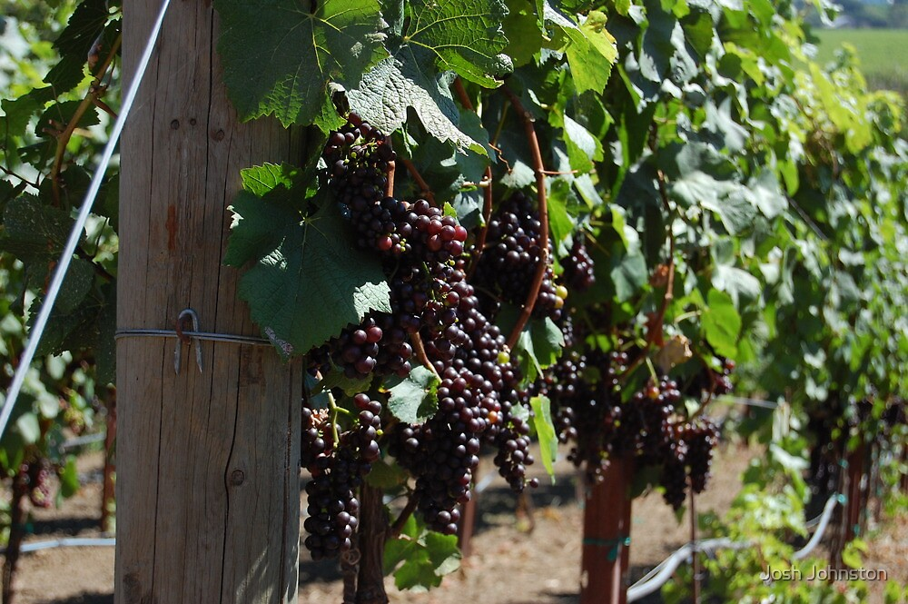 Grapes on a Vine by Josh Johnston
