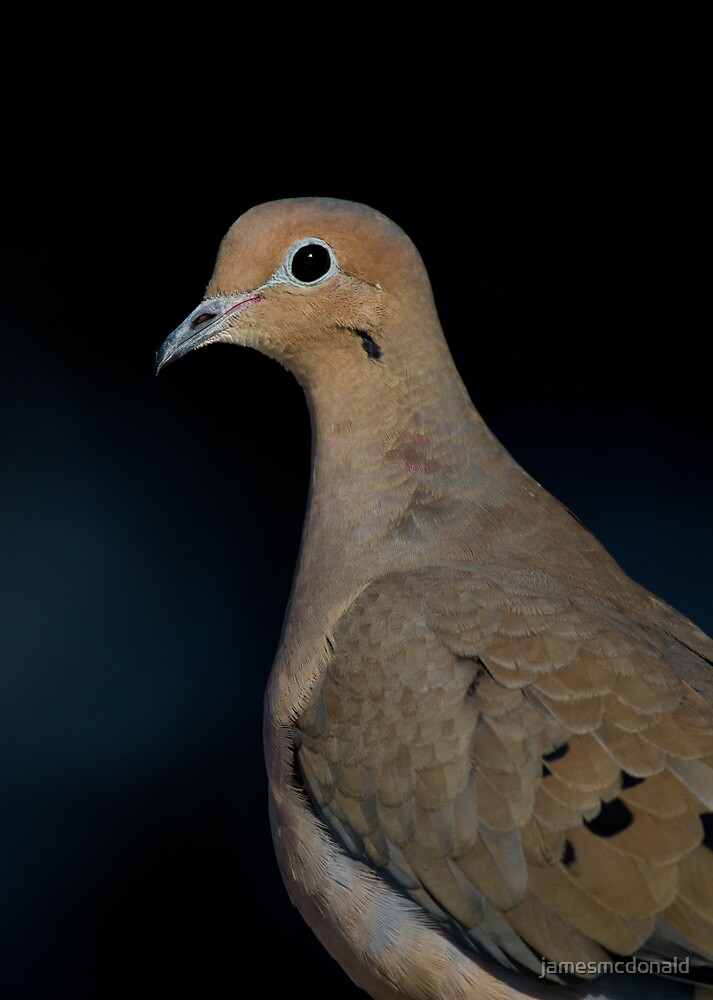 portrait of a dove  by jamesmcdonald
