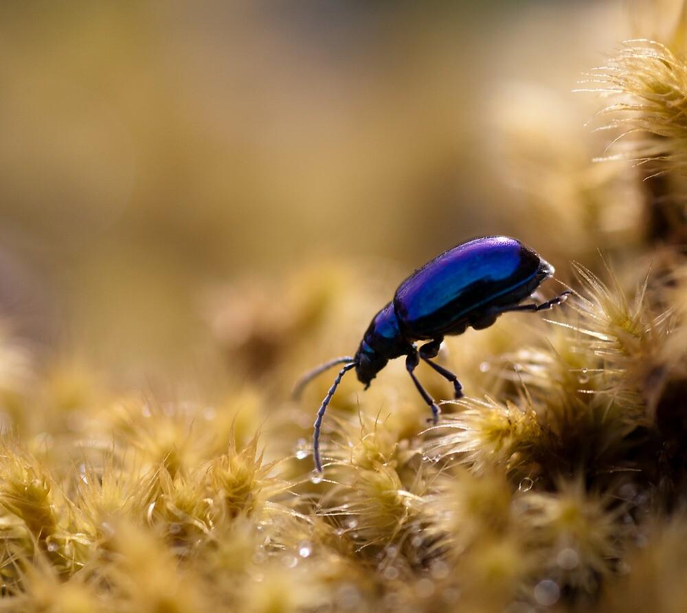 Metalic flea beetle, Vale of Belvoir, Tasmania by Andy Townsend