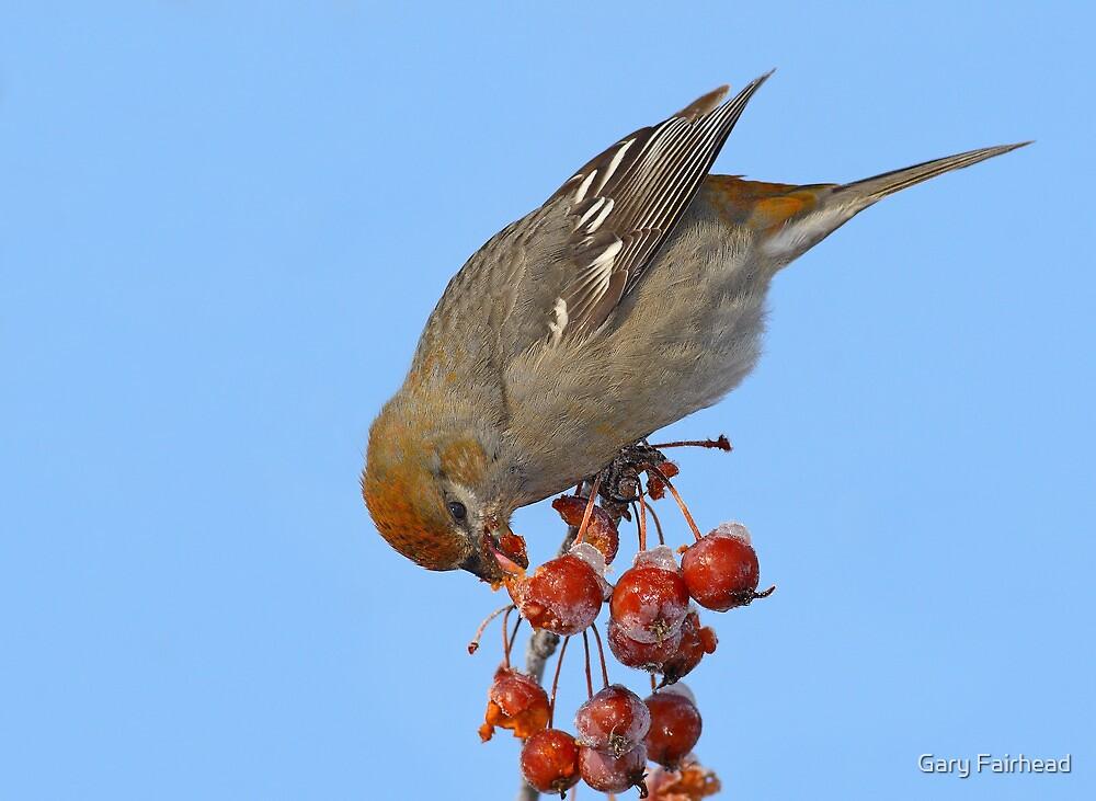 Tasting The Popsicles / Pine Grosbeak by Gary Fairhead