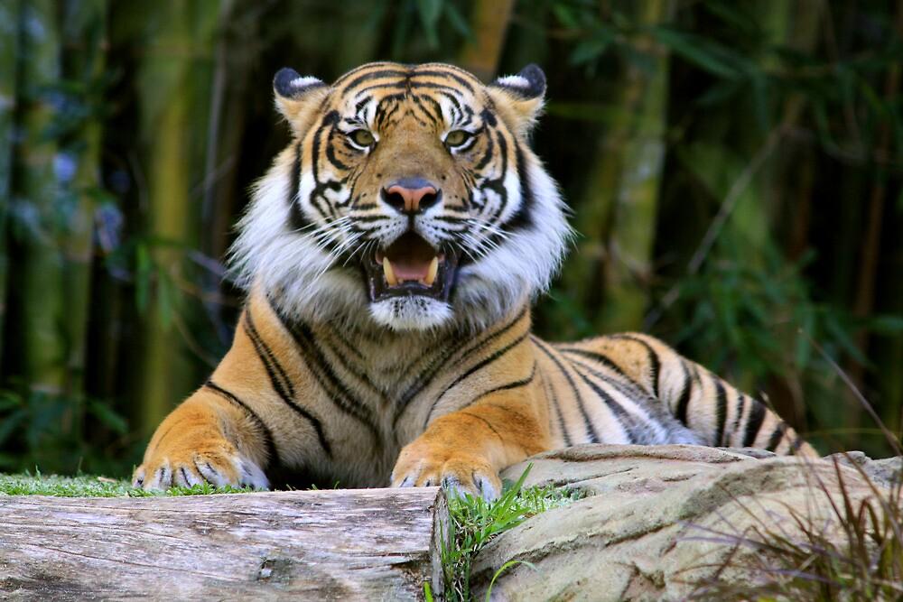 Sumatran Tiger by smallan