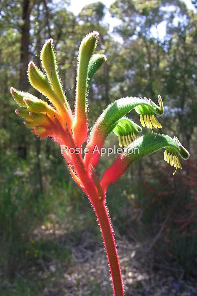 Kangaroo paw (Anigozanthus manglesii) by Rosie Appleton