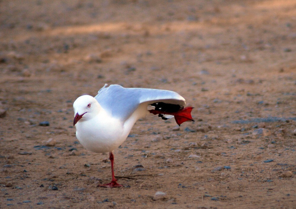 dancing seagull by stiddy