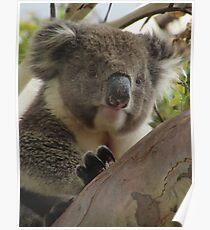 Koala (Phascolarctos cinereus) - Horsnell Gully, South Australia Poster