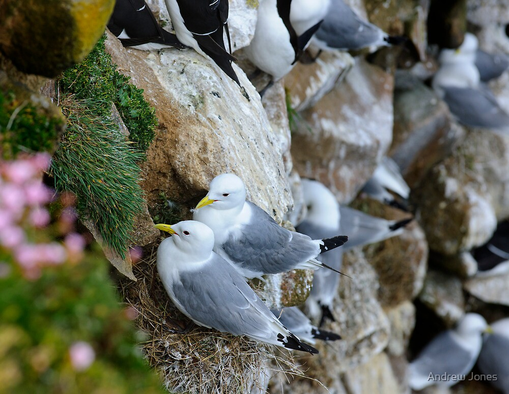 Nesting Kittiwakes, Saltee Island, County Wexford, Ireland by Andrew Jones