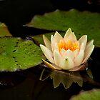 Lotus by Karen E Camilleri
