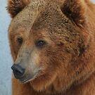 Grizzly Bear, Montana, USA by AnnDixon