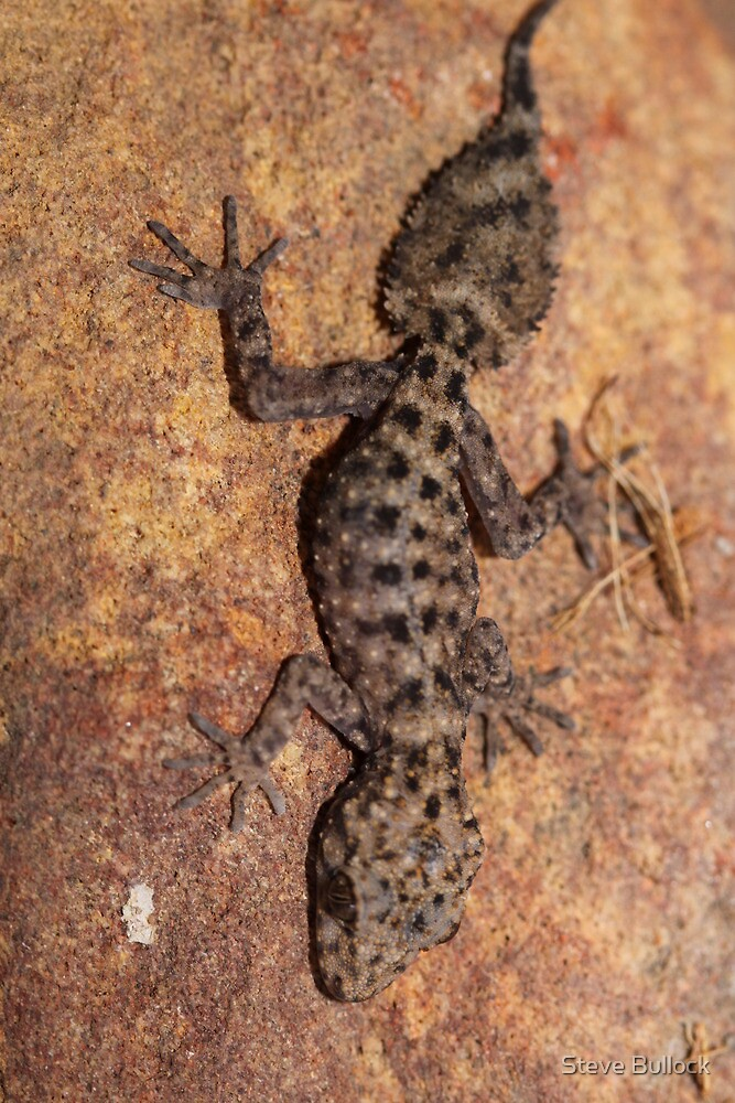 Baby Broad Tailed Gecko by Steve Bullock