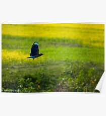 indian roller Poster