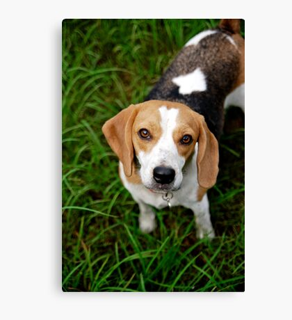 Bonnie Beagle Canvas Print