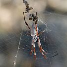 Orb Weaver Spider by Rick Playle
