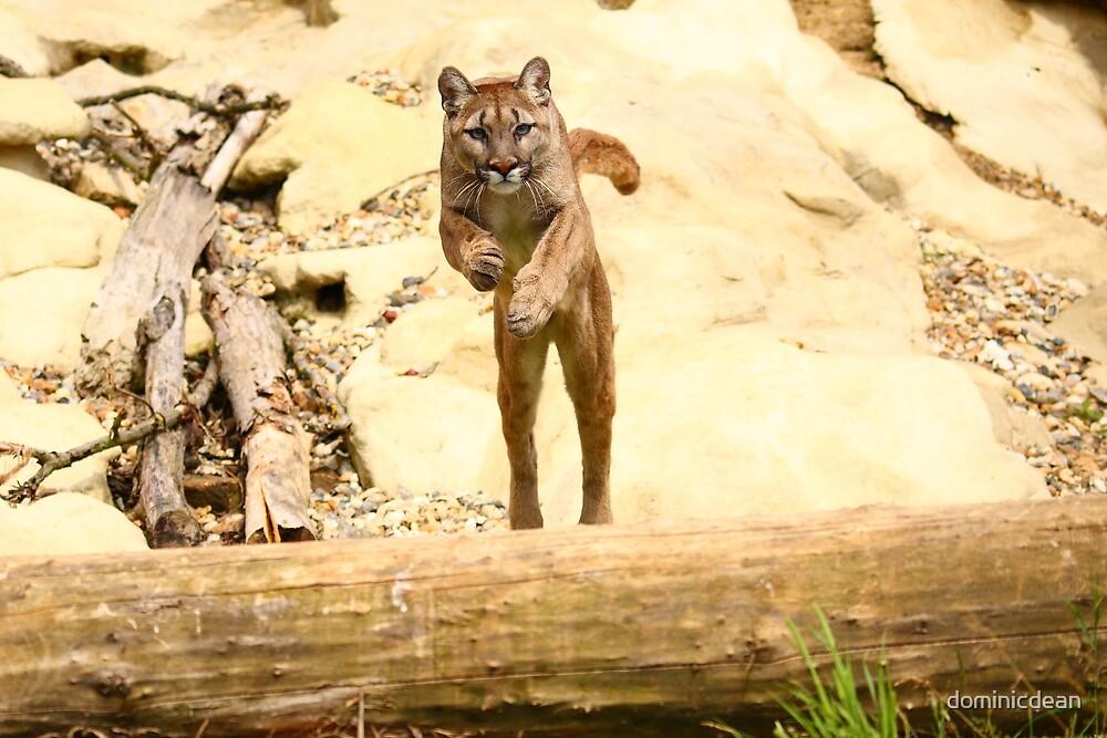 Puma Jumping by dominicdean