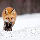 Red Fox, Algonquin Park, Canada. by Daniel Cadieux