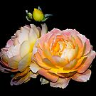 Pretty as a sunrise roses by Beth Brightman