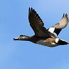American Wigeon Drake in Flight by Chuck Gardner